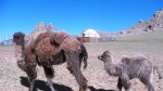 Camels at the 13th century camp Mongolia