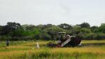 Paddy Harvesting in Manthai East