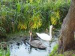Swans at Oxford